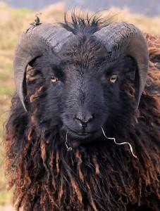 sheep-640661_1920